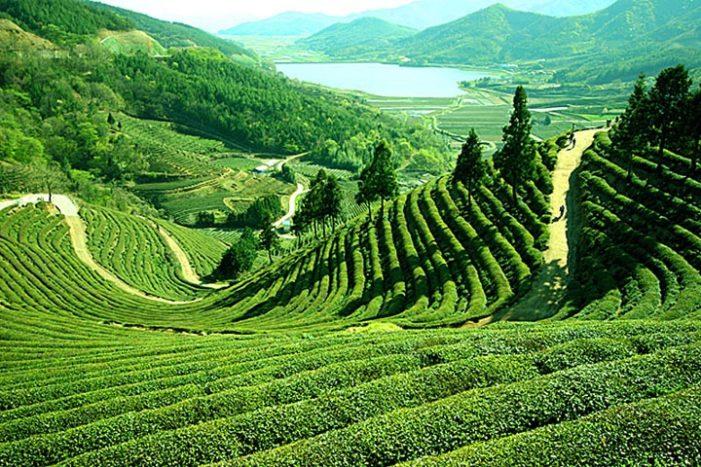 Darjeeling Tea to be Showcased at Davos 2013