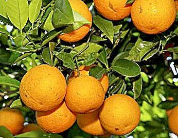 Coca-Cola Plans Major Expansion of Florida Orange Groves