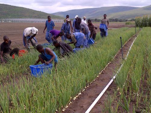 Kitoko Food Farm Begins Trial Harvest, Yields Abundance of Fresh Produce