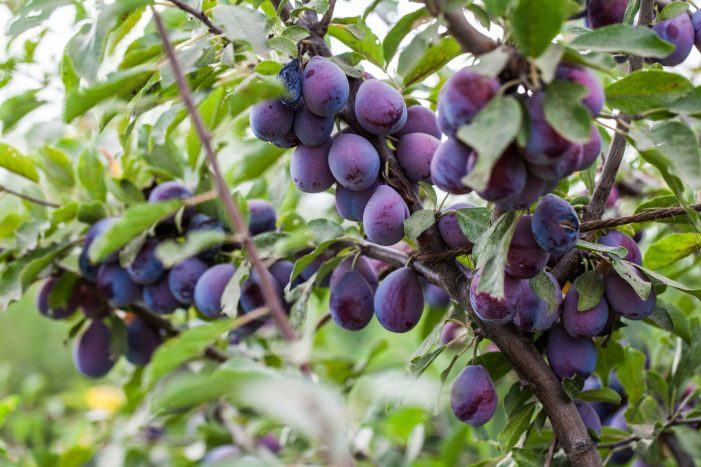 California Prune Announce Exceptional Yield in 2016's Crops